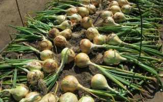 Лук «Эксибишен» (24 фото): когда высаживать в открытый грунт, выращивание через рассаду, уход и отзывы