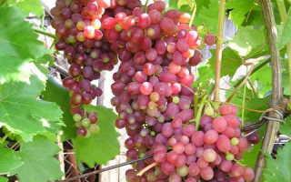 «Кишмиш» (34 фото): что это за виноград, польза и калорийность зеленой ягоды
