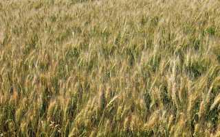 Сорта озимой пшеницы: основные характеристики сортов «Баграт» и Алексеевич, стойких к заболеваниям «Гром» и «Скипетр»