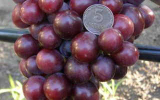Виноград «Подарок Несветая» (16 фото): описание сорта и отзывы