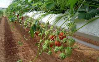 Клубника на гидропонике: как сделать своими руками питательный раствор, оборудование для выращивания в домашних условиях