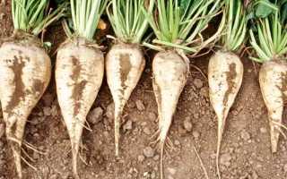 Сахарная свекла (25 фото): технология возделывания из семян и производства сахара, родина сортов