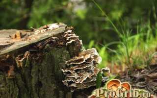 Трутовики: виды трутовых грибов и их особенности