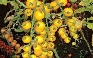 Томат «Желтая вишня» (8 фото): характеристика и урожайность сорта помидоров, отзывы