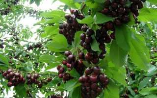 Черешня «Мелитопольская» ( 9 фото): описание раннего черного сорта
