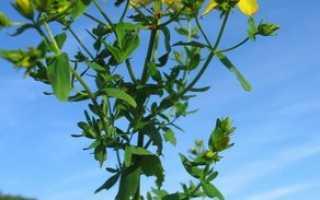 Зверобой продырявленный: выращивание, лекарственные свойства