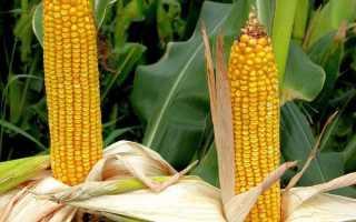 Сахарная кукуруза: семена сладкого раннего вида, самые лучшие гибриды, сколько растет сорт «Лакомка»