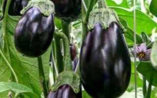 """Баклажан (89 фото): описание белого овоща, сорта """"Алмаз"""" и """"Черный красавец, """"Вера"""" и """"Король Севера"""", характеристика и отзывы"""