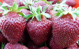Клубника «Чёрный принц» (19 фото): описание сорта садовой земляники, опыление ягод виктории, отзывы садоводов