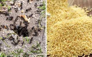 Пшено от муравьев: применение на дачном участке, боятся ли насекомые крупы, отзывы об эффективности
