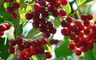 Калина от давления: полезные свойства и противопоказания, рецепты при гипертонии, понижает ли ягода давление