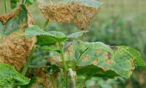 Почему вянут листья у огурцов в теплице и что делать? 17 фото Лечение фузариозного увядания,