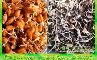 Как употреблять пророщенную пшеницу? Как есть проростки и как правильно проращивать продукт, как приготовить проросшее