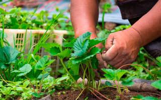 Чем обработать клубнику во время цветения от вредителей и болезней? Обработка и уход за цветущим растением