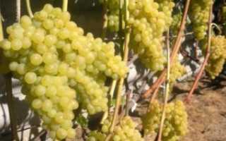 Виноград «Кишмиш 342» (14 фото): описание плодового сорта, посадка и уход в Подмосковье, отзывы