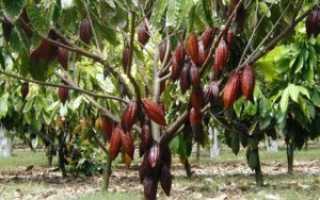 Масло какао (33 фото): свойства и применение от кашля, польза и вред, как использовать состав для кожи, отзывы