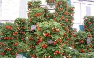 Вьющаяся клубника (18 фото): особенности выращивания и уход за ягодой, описание сортов, отзывы