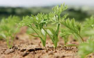 Как проредить морковь? Как правильно прореживать в открытом грунте, можно ли потом пересаживать овощ