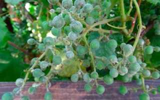 Чем лечить оидиум винограда? 43 фото Как обрабатывать растение от мучнистой росы, способы борьбы с болезнью