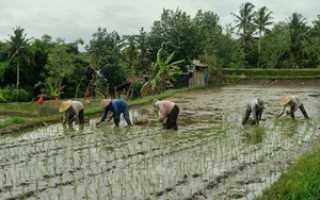 Как растет рис? 25 фото Как выглядят рисовые поля, как выращивают культуру в России, почему