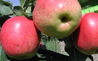 Яблоня «Скала» (13 фото): описание сорта и посадка, отзывы садоводов