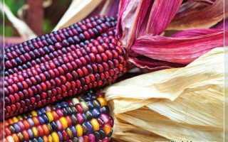 Кукуруза (39 фото): початки и семена, их сорта и семейство, кормовое и черное, разноцветное и обыкновенное растение