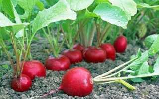 Чем подкормить редис для быстрого роста корнеплода? Чем подкармливать после всходов в открытом грунте и теплице