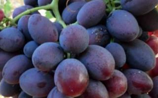 Виноград «Алиса» (10 фото): описание сорта и отзывы садоводов