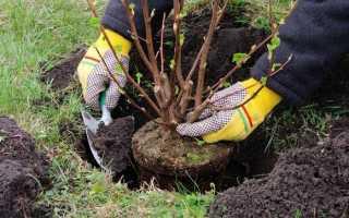 Посадка черной смородины (59 фото): правильная посадка саженцами весной и осенью, выращивание и уход летом