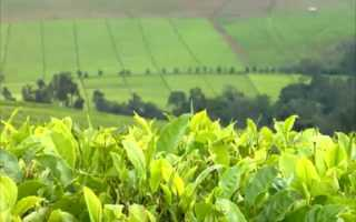 Гранулированный чай: что это такое и как его делают, детский растворимый напиток, кенийский и байховый