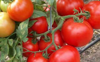 Томат «Санрайз F1» (15 фото): характеристика и описание сорта помидоров, высота куста, отзывы