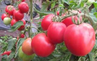 Лучшие сорта помидоров для открытого грунта: выбираем томаты правильно