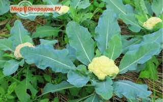 Цветная капуста (32 фото): как вырастить овощ, как сажать и выращивать культуру, выращивание в открытом грунте и уход