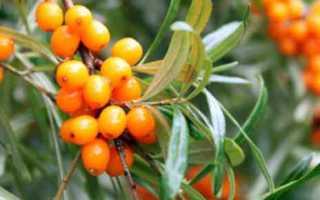 Какие витамины содержатся в облепихе? Пищевая ценность облепихового масла, калорийность и химический состав облепихи
