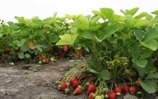 Клубника «Полка» (21 фото): описание и характеристики сорта садовой земляники, отзывы садоводов и дачников