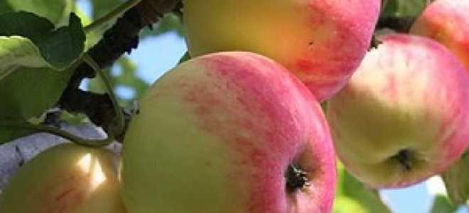 Яблоня «Солнцедар» (14 фото): описание сорта и яблок, посадка и отзывы