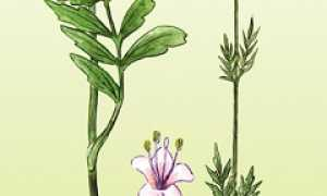 Как выращивать валериану на даче и что с ней делать?