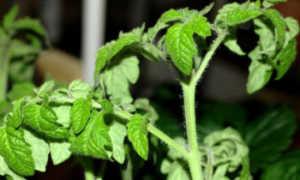 Почему у рассады помидоров скручиваются листья? 28 фото Что делать, когда листы томатов закручиваются вниз и вянут
