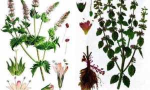 Чем отличается мята от мелиссы: сравнение трав в таблице с фото