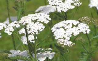 Тысячелистник: полезные и лечебные свойства, противопоказания и применение