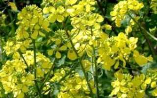 Масличная редька (25 фото): овощ как сидерат и мёдонос, как сеять семенами и норма на 1 га, технология возделывания