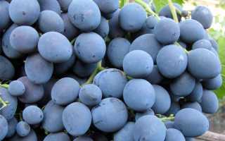Виноград «Страшенский» (24 фото): описание и характеристика сорта, отзывы