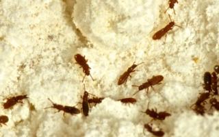 Жучки в крупе (31 фото): как избавиться от жуков навсегда, если завелись на кухне? Как