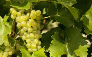 Виноград «Супер Экстра» (21 фото): описание плодового сорта и посадка растения в Подмосковье, отзывы