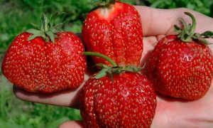Клубника «Витязь» (10 фото): описание сорта садовой земляники и отзывы садоводов