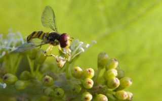 Как цветет виноград? 11 фото Сроки и фазы цветения, прищипка и причины отсутствия виноградного цвета
