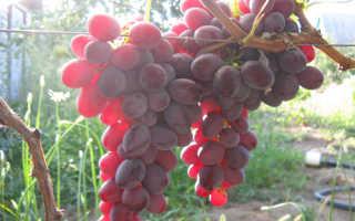 Виноград «Рубиновый юбилей» (16 фото): описание сорта и отзывы
