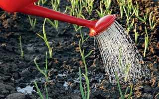 Полив чеснока в открытом грунте: как часто поливать весной посаженный под зиму, нужно ли увлажнение летом
