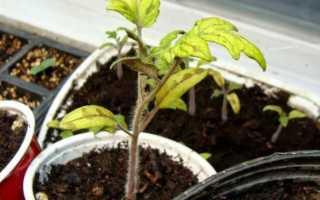 Желтеют листья у рассады томатов: что делать, если сохнут и плохо растут нижние листы у помидоров на подоконнике