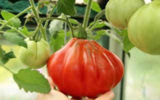 Томат «Пузата хата» (18 фото): характеристика, описание и урожайность сорта помидоров, высота кустов, отзывы